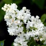 Syringa vulgaris Mme Lemoine – Syren