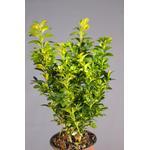 Buxus Sempervirens 20-30cm