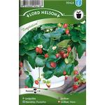 Nelson Garden Jordbær Temptation 40 pack
