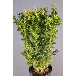 Buksbom Buxus Sempervirens 30-40cm