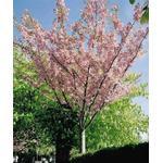 Planter og frø Prunus Serrulata Kanzan Japansk Kirsebær 150-225cm