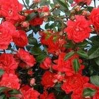 Topmoderne Fairy roser Planter og frø - Sammenlign priser hos PriceRunner TA-24