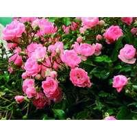 Tidsmæssigt Fairy roser Planter og frø - Sammenlign priser hos PriceRunner SX-17