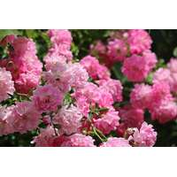Efterstræbte Fairy roser Planter og frø - Sammenlign priser hos PriceRunner XG-47
