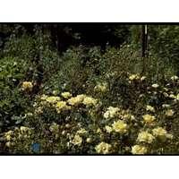 Velsete Fairy roser Planter og frø - Sammenlign priser hos PriceRunner XY-13
